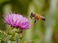 A honey bee hovers on a thistle flower.