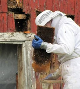 A beekeeper holding a piece of honey comb by a hole in a wall.