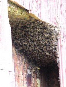 A large number of bees in a wall cavity.