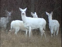 herd of white deer in a field