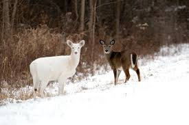A white deer and brown deer in a field