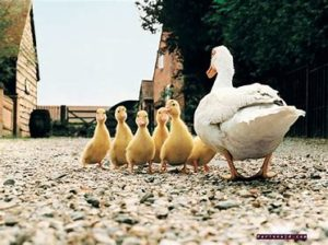 A mother duck herding her ducklings