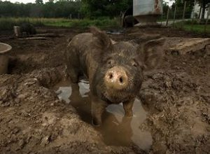a pig covered in mud standing in a mud puddle